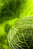 Detail of savoy cabbage Stock Image