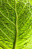 Detail of savoy cabbage Stock Photography