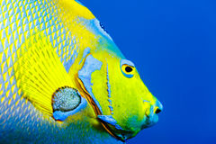 Detail of scales of Queen Angelfish  holacanthus ciliaris in blue water. Detail of colorful scales of Queen Angelfish  holacanthus ciliaris in blue water Stock Photo