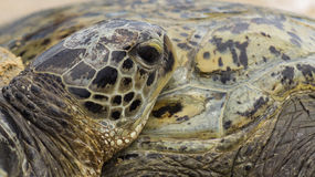 Detail of a Sea Turtle Stock Photography