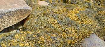 Detail, Seaweed and kelp on beach rocks stock photo