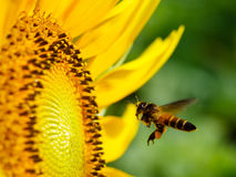 Detail of Seeding bee with blooming sunflower. In nature daylight Royalty Free Stock Image