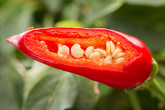 Detail of seeds inside chili plant Stock Image