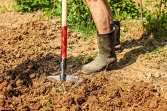 Detail on senior foot in dirty wellington boot and spade on wet. Ground. Spring gardening royalty free stock photo