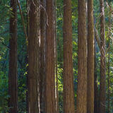 Detail of sequoia trees in Pfeiffer Big Sur State Park Royalty Free Stock Photography