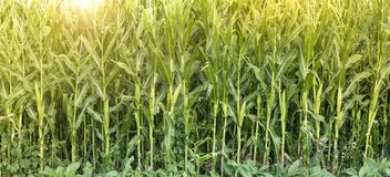 Corn field ripens in the sun stock image