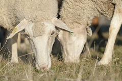 Detail of sheep eating. Stock Photo