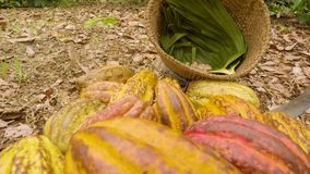 Detail Shot Of Cocoa Fruits And Beans Inside A Basket. Ecuador stock footage