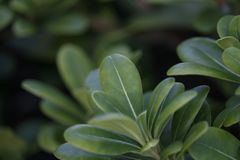 Green fleshy leaves of a shrub plant. Detail shot of fleshy bush green leaf with defocused background. Photo taken during the day, illuminated with natural light stock photo