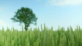 Detail shot of a green wheat field with a oak-tree. Detail shot of a green wheat field with a single oak-tree in background stock video