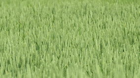 Detail shot of green wheat field. With wind gusts traveling through stock video footage
