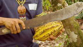 Detail Shot Of A Indigenous Worker Cutting A Cocoa Fruit And Showing The Beans. Ecuador stock video