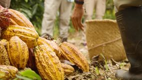 Detail Shot Of Man Guide Showing Tourists Cocoa Fruits. On The Ground stock footage