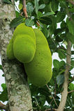 Jackfruits in Uganda Stock Images