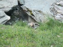 Shy marmot in the alps. A detail of shy marmot in the alps stock photography