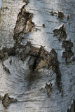 Detail of  Silver Birch Tree Royalty Free Stock Photo
