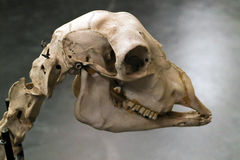 Detail of skeleton of an unidentified animal of Veterinary Anato Royalty Free Stock Image