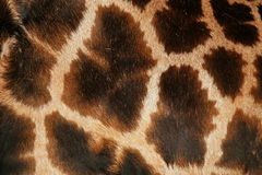 Detail of the skin on an African giraffe Stock Photos