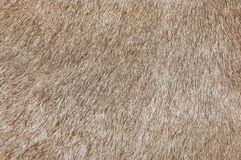 Detail of A Skin of A Cow Texture Background. Fabric Textile, Close Up of Brown Cowhide or Fragment of Skin A Cow Texture Background Royalty Free Stock Photography