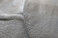 Detail of the skin of an Indian rhinoceros Stock Images