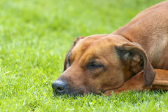 Detail of sleeping brown dog on green grass Royalty Free Stock Photo