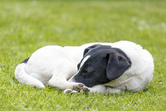 Detail of sleeping dog on green grass Stock Images