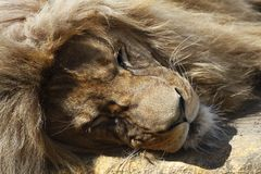 Detail of sleeping lion Royalty Free Stock Image
