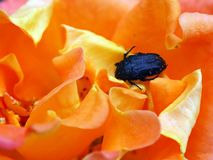 Black Beetle in Colourful Bright Orange Rose stock images