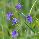 Forking Larkspur Consolida regalis royalty free stock photography