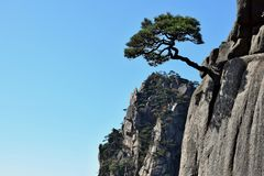 Detail of the small Huangshan pine tree growing from the rocks in Huangshan, Yellow Mountains, Anhui province, China. stock photo