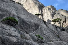 Detail of the small Huangshan pines tree growing from the rocks in Huangshan, Yellow Mountains, Anhui province, China. Huangshan, Yellow mountains, in Anhui stock photography