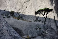 Detail of the small Huangshan pines tree growing from the rocks in Huangshan, Yellow Mountains, Anhui province, China. Huangshan, Yellow mountains, in Anhui stock images