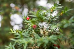 Arils of Taxus baccata at autumn Royalty Free Stock Photography