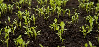 detail of small seedlings on black soil Stock Photos