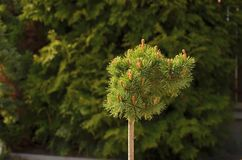 Detail of small tree Royalty Free Stock Photo