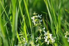 Small white flower. Detail of small white flower on a meadow Stock Photography