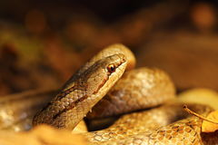 Detail of smooth snake in autumn forest ground. Macro image with closeup of head ( Coronella austriaca royalty free stock images