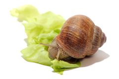 Detail of snail on green salad Stock Photo