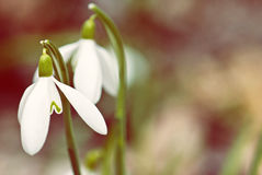 Detail of snowdrops flower Stock Photo