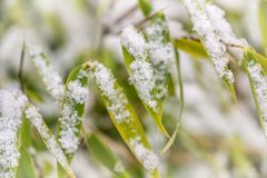 Detail of snowflakes on bamboo leaves. Nature in winter. Macrophotography royalty free stock images