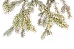 Detail snowy branch Royalty Free Stock Photo