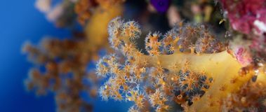 Detail of a soft coral. Dendronephthya with its polyps, WAKATOBI, Indonesia Stock Image
