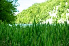 Detail of some aquatic plants where you can see their leafy green leaves. Photograph taken in the plitvice lakes natural park in croatia Royalty Free Stock Photography