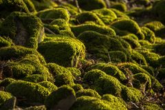Mossy Rocks Detail. Detail Of Some Moss Covered Rocks With Shallow Focus Stock Photography