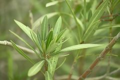 Detail of some oleander plant leaves. With macro shooting. Image with predominance of green colors Stock Image