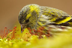 Detail of songbird in the nice moss. Eurasian Siskin, Carduelis spinus, song bird sitting on the branch with yellow lichen, clear. Detail of songbird in the nice Stock Photo