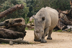 Detail of southern white rhinoceros Stock Photography