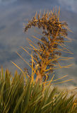 Detail of Speargrass. Nearby Mount Cook in New Zealand Royalty Free Stock Photography