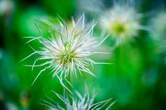 Detail of special kind of dandelion with a grasshopper. On it with blurry background Stock Photo