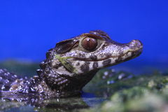 Detail of spectacled caiman Stock Photography